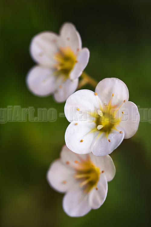White flower on green background | Hvit blomst på grønn bakgrunn