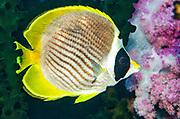 Panda Butterflyfish (Chaetodon adiergastos)<br /> Raja Ampat<br /> West Papua<br /> Indonesia