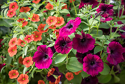 Petunia F1 Easy Wave 'Burgundy Velour' with Calibrachoa Can-can 'Orange'