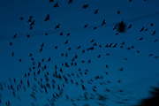 Flock of jackdaws in the winter evening sky, Amsterdam. Copyright Dave Walsh 2011, davewalshphoto.com