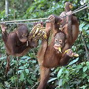 Orangutan, (Pongo pygmaeus) Juvenile in nursery of Sepilok Forest Rehabilitation Center. Borneo. Malaysia. Controlled Conditons.