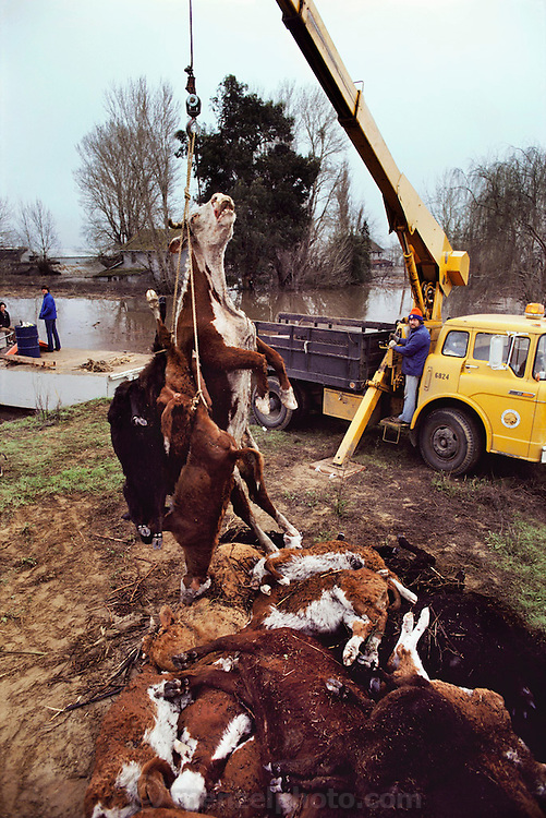 California. Sacramento River Delta flood from broken levee, Holland Tract. Drowned cattle being loaded into a truck for rendering. 1980.