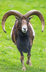 THEMENBILD - Muffelwild oder Mufflon (Ovis aries musimon) im Wildpark Ferleiten, aufgenommen am 29. April 2018 in Taxenbacher-Fusch, Österreich // a mouflon at the Wildlife Park, Taxenbacher-Fusch, Austria on 2018/04/29. EXPA Pictures © 2018, PhotoCredit: EXPA/ Stefanie Oberhauser