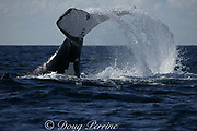 southern humpback whale, Megaptera novaeangliae, <br /> thrashes the water with its flukes ( tail ) while <br /> migrating up the Indian Ocean from feeding grounds in Antarctica toward breeding grounds in Mozambique, during the annual Sardine Run up the east coast of South Africa ( Indian Ocean )