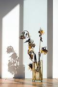 wilting sunflowers in a strong autumn sunlight