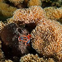 Chromodoris annae, Maui Hawaii