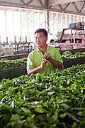 Tea leaves for wilting in factory at Sabah Tea Plantation, Ranau