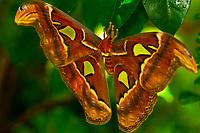 Atlas moth, Key West Butterfly & Nature Conservancy, Key West, Florida Keys, Florida USA