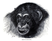 portrait of a Chimpanzee From the book ' Royal Natural History ' Volume 1 Edited by  Richard Lydekker, Published in London by Frederick Warne & Co in 1893-1894