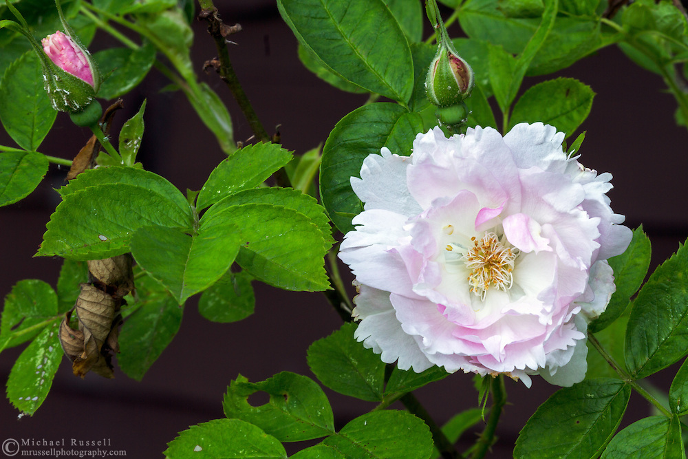 """Fimbriata ( Rosa rugosa) - which is a """"David Austin Rose"""" flowers during the early summer in a backyard rose garden"""
