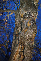 Three young raccoons (Procyon lotor) in tree at night, Ladder Ranch, west of Truth or Consequences, New Mexico, USA.