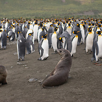 Young southern fur seals lounge beside a King Penguin rookery at Gold Harbor, South Georgia, Antarctica.
