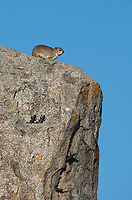 Yellow-spotted Rock Hyrax, Heterohyrax brucei, stands on a rock outcrop in Serengeti National Park, Tanzania. Four agama lizards, Agama sp., are also basking on the rock.