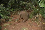 XISHUANGBANNA, CHINA - OCTOBER: 17 (CHINA OUT) <br /> <br /> An Elephant Is beheaded in Yunnan province of China<br /> <br /> The corpse of a dead elephant at Mengla conservation area on October 17, 2014 in Xishuangbanna, Yunnan province of China. A male Asian elephant was killed by being beheaded with its ivories taken away near Mengla County. Local police station returns attractive money for people who give clues to catch the criminals.<br /> ©Exclusivepix