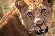 Lion face close up