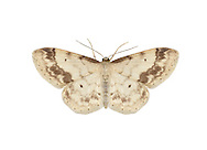 70.012 (1711)<br /> Treble Brown Spot - Idaea trigeminata