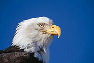 Bald eagle head portrait, blue sky background, Alaska, © David A. Ponton