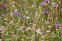 Wildflowers at Newtown, Isle of Wight