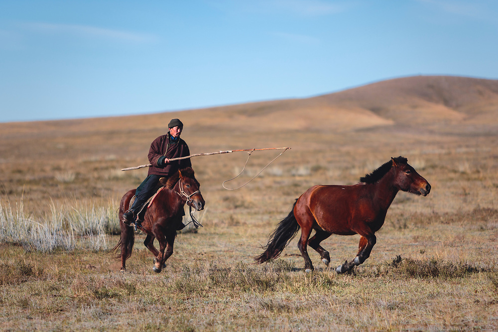 Baak, an expert horseman, uses a noose on the end of a long stick to catch and corral his family's ponies.