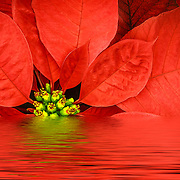 close up of the front of a poinsettia flower