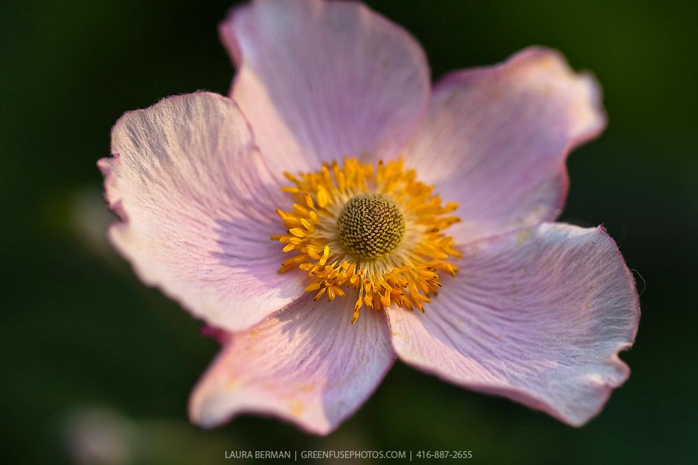 Japanese anemone (Anemone tomentosa 'Robustissima')