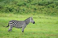 Grant's Zebra, Equus quagga boehmi, in Arusha National Park, Tanzania