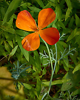 Orange wildflower. Backyard spring nature in New Jersey. Image taken with a Leica T camera and 55-135 mm lens (ISO 100, 135 mm, f/10, 1/320 sec).