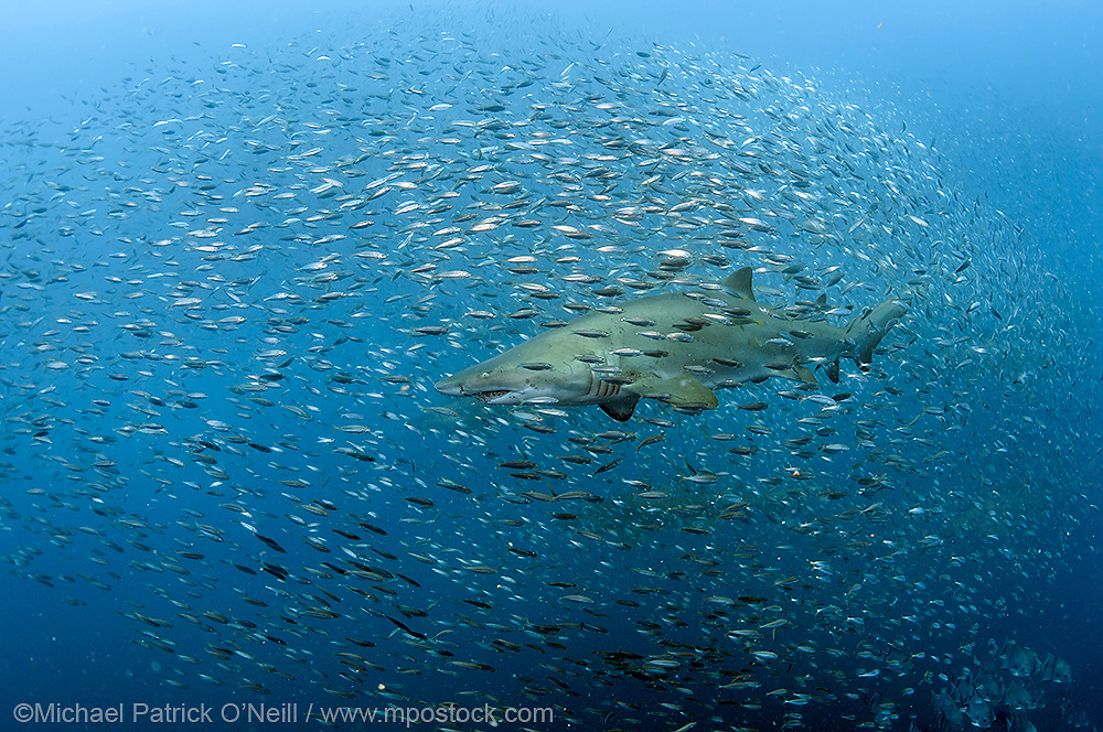 A Sand Tiger Shark, Carcharias taurus , swims through a cloud of baitfish over the Caribsea Shipwreck, an American ship torpedoed by the Germans during World War II offshore the Outer Banks, North Carolina, United States. Image available as a premium quality aluminum print ready to hang.
