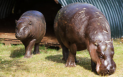 © Licensed to simonjacobs.com. 16/07/2013 Whipsnade, UK. Ten month old Pygmy hippo calf Georgina makes her way to the water with her mother Flora for her very first swim at Whipsnade Zoo, Bedfordshire.<br /> Photo credit : Simon Jacobs