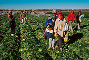MEXICO, AGRICULTURE, BAJA CALIF. NORTH Celery harvest in the Valle de Mexicali in the Colorado River delta east of Mexicali