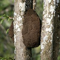 Central America, Latin America, Costa Rica. Termite nest clings to tree.
