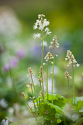 Tiarella cordifolia AGM. Foam flower