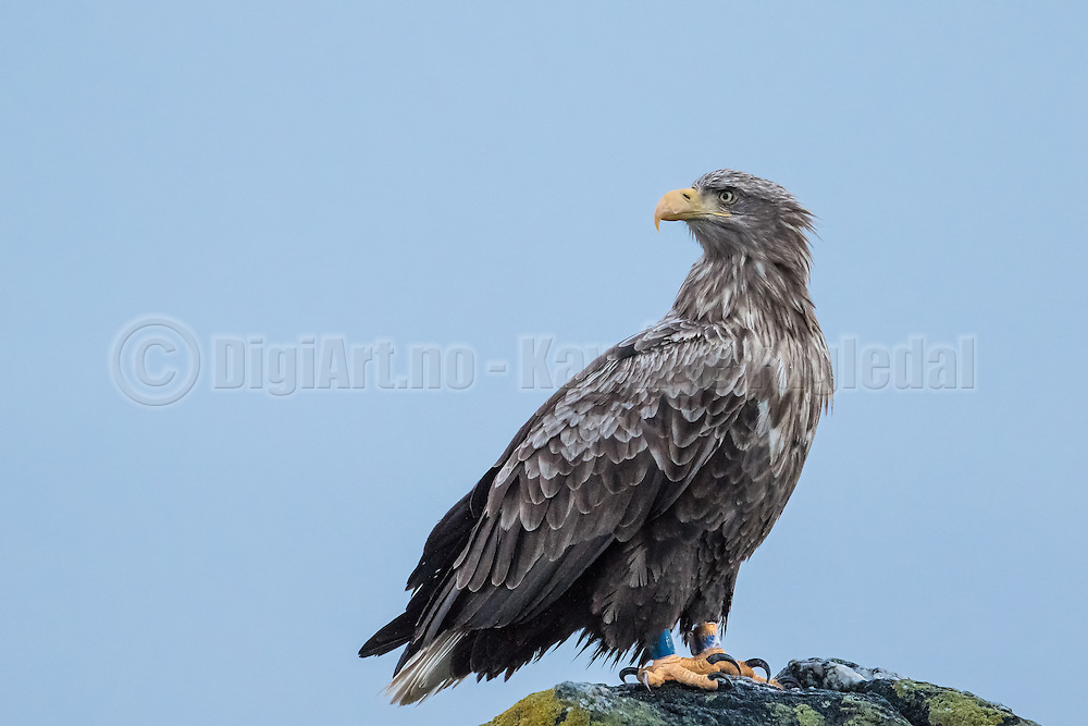 White-tailed Eagle captured at Runde today   Havørn fotografert på Runde idag