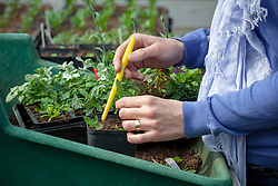 Taking cuttings from a tot plant