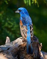 Blue Grossbeak in Southern Texas. Image taken with a Nikon D3x camera and 600 mm f/4 VR lens (ISO 800, 600 mm, f/5.6, 1/2000 sec)