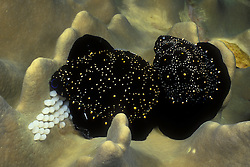 A pair of Egg Cowries, Ovula ovum, take a break from grazing to spawn, depositing eggs directly on the Sarcophyton sp. soft coral they feed upon. Similan Islands Marine National Park, Thailand, Andaman Sea