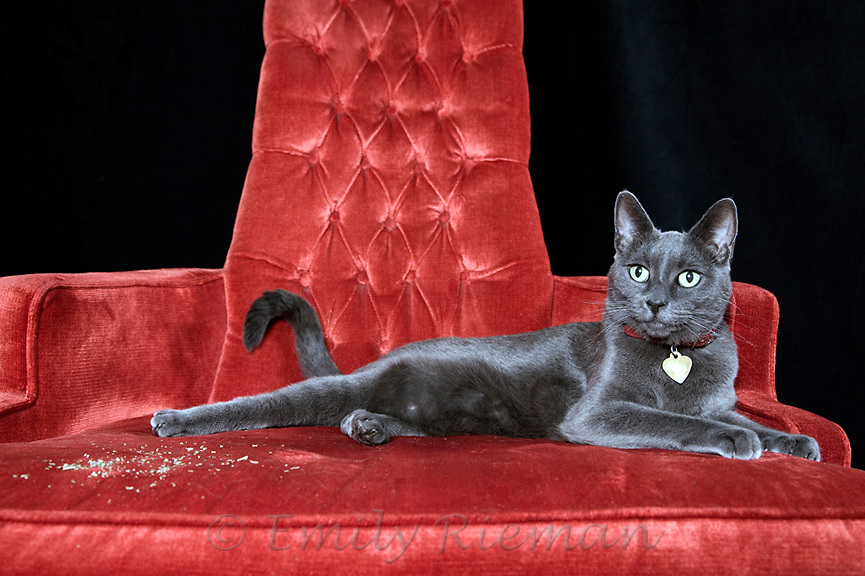 Grey cat reclining on red chair
