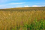 Kaszuby, 20011-07-05. Kaszubski krajobraz - łan zboża, okolice Wdzydz Kiszewskich