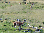 Guanacos (Lama guanicoe)  grazing on green grass in an otherwise arid landscape.. Torres del Paine National Park, Republic of Chile 19Feb13