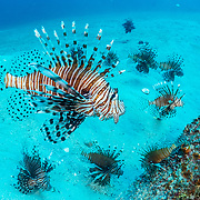 Invasive lionfish (Pterois volitans) have taken over and are wiping out native fish in the Atlantic ocean. The highest densities are in the northern gulf of Mexico. This image was made off Destin, Florida. Image was previously sold as RF.