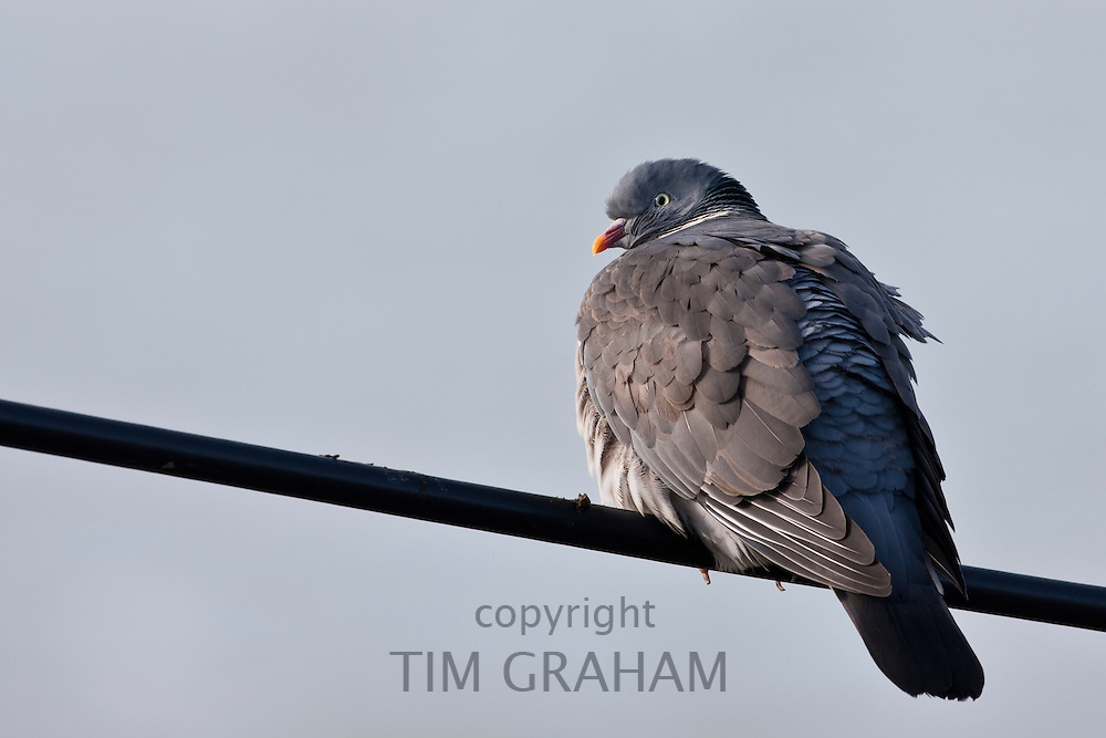 Wood pigeon bird, Columba palumbus, on wire at Woolacombe, North Devon, UK