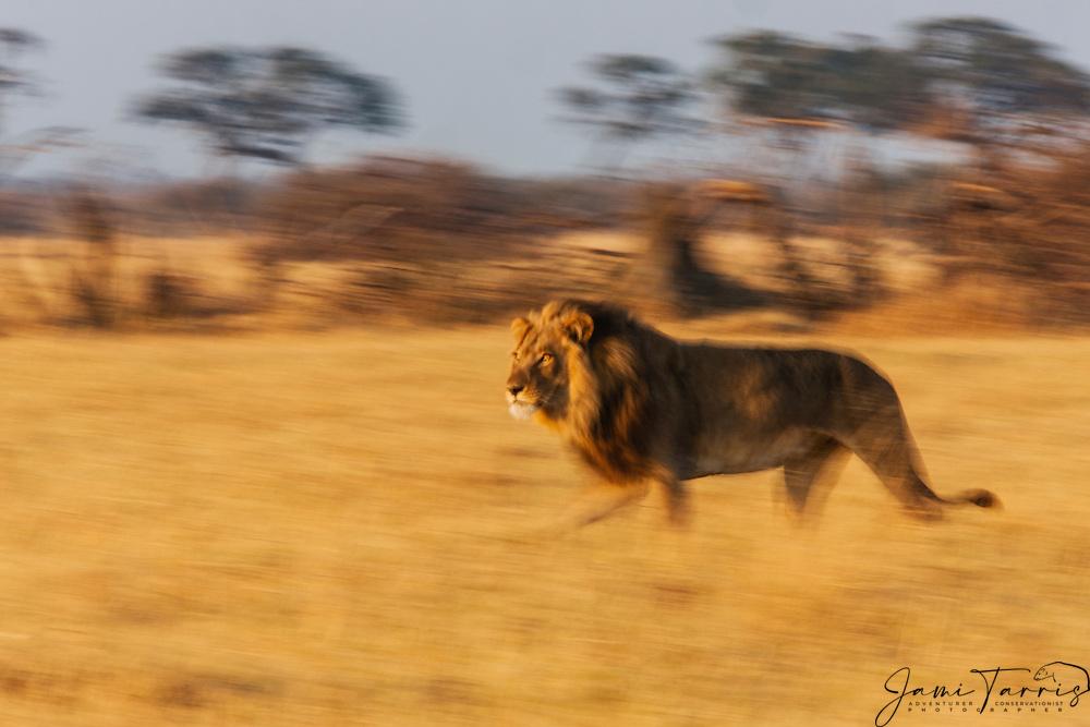 A portrait and motion-blur of a male lion (Panthera Leo) moving through the grasslands at sunset, Savuti, Botswana,Africa