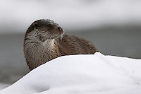 Eurasian Otter (Lutra lutra), the Carpathians; Carpathian Mountains; Bieszczady Mountains; Poland