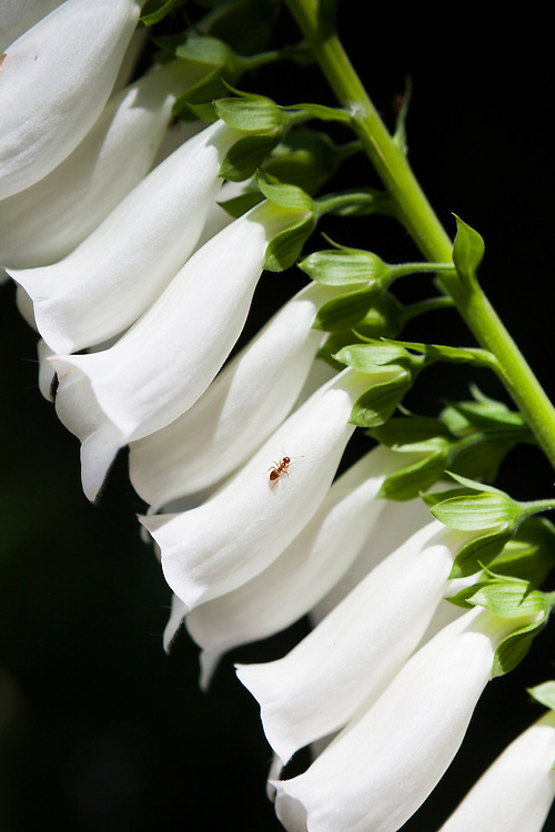 An ant journeys up a tall foxglove (Digitalis sp.) flower in the Bacon Creek drainage, Mount Baker-Snoqualmie National Forest, Washington.