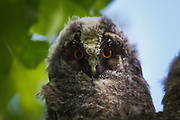 Long-eared owl (Asio otus) owlet, photo by Ⓒ Davis Ulands | davisulands.com