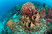 Barrel Sponges, Xestospongia sp., are commonly found on the Breakers Reef offshore Palm Beach, Florida, United States.
