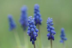 Grape hyacinth, Great Trinity Forest, Dallas, Texas, USA