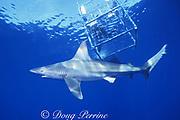 sandbar shark, Carcharhinus plumbeus, swims under snorkel cage, North Shore, Oahu, Hawaii, USA ( Central Pacific Ocean )