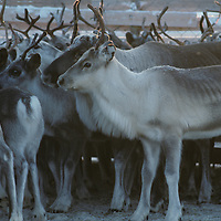 Norway, Reindeer herd in Sami herders' corral during early winter harvest near arctic town of Kirkennes