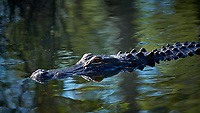 Alligator in the swamp along the Loop Road in Big Cypress National Preserve. Winter Nature in Florida Image taken with a Fuji X-T2 camera and 100-400 mm OIS telephoto zoom lens.
